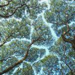 木々の葉が互いに譲り合う現象「クラウン・シャイネス」が凄い