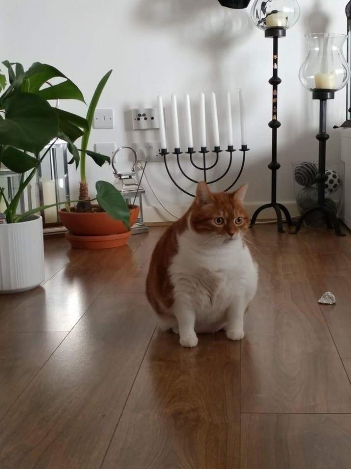 ぽっちゃり猫 画像5