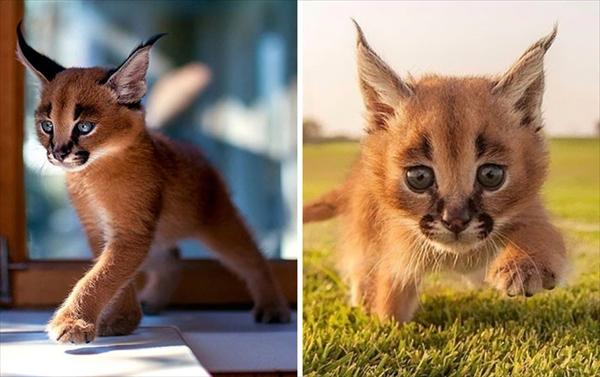 カラカル 子猫