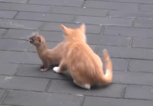 子猫とイタチ3