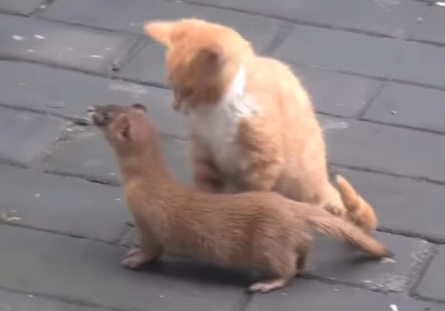 子猫とイタチ4