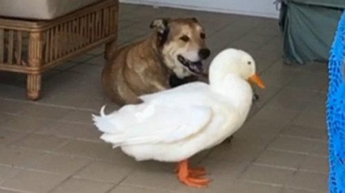 犬とアヒル 笑顔を取り戻す11