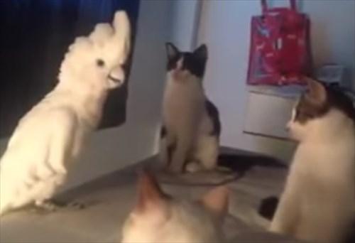 猫の声真似をするオウム1