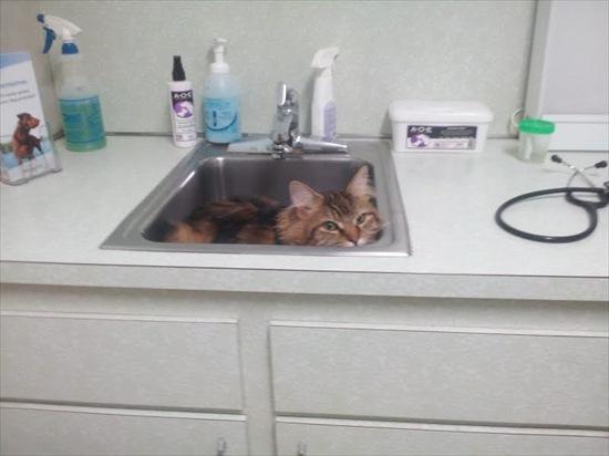 動物病院嫌い 猫2