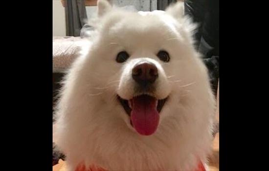 愛犬のサモエド 脱走
