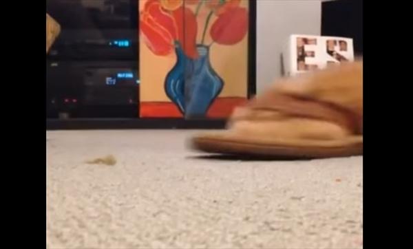 サンダルで遊ぶ猫1