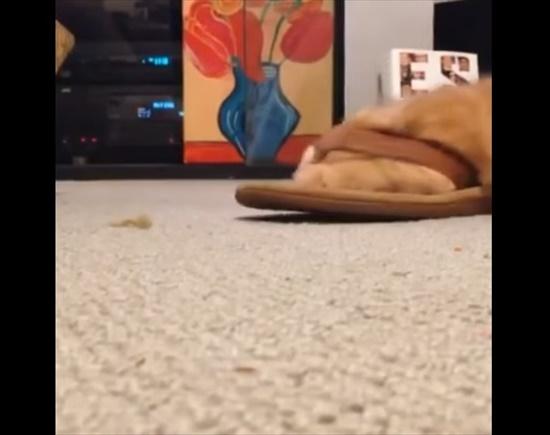 サンダルで遊ぶ猫3