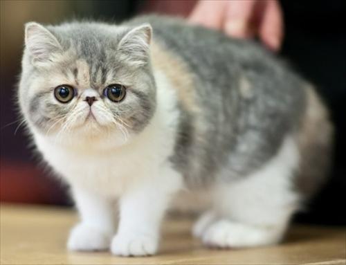 ぶさかわ猫 エキゾチックショートヘア1