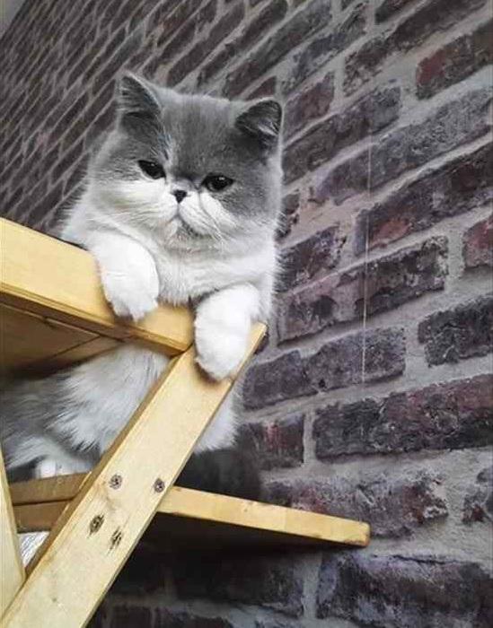 ぶさかわ猫 エキゾチックショートヘア3