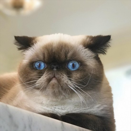 ぶさかわ猫 エキゾチックショートヘア8