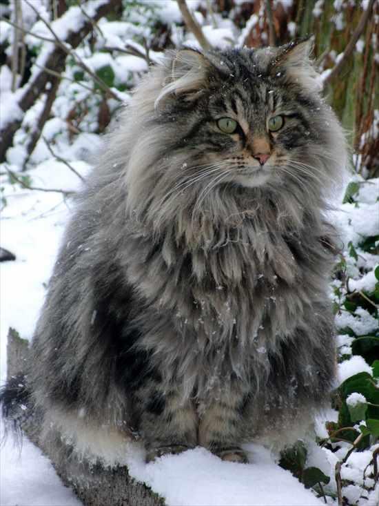 もふもふな猫 長毛種