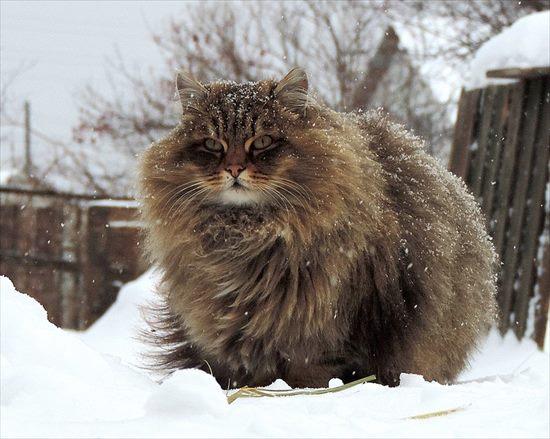 ダブルコート 猫