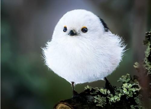 シマエナガ 鳥1
