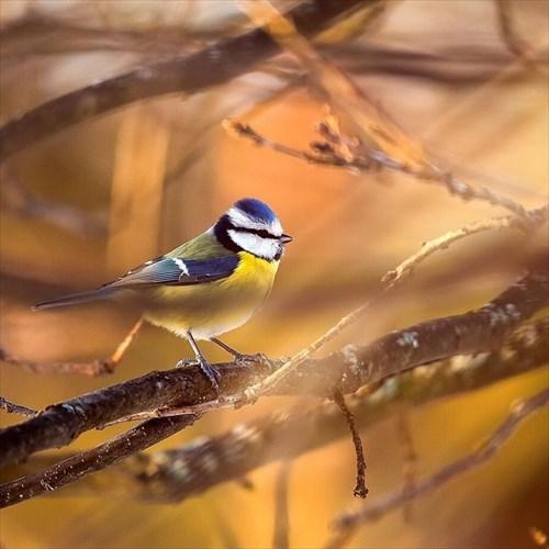 アオガラ 鳥2