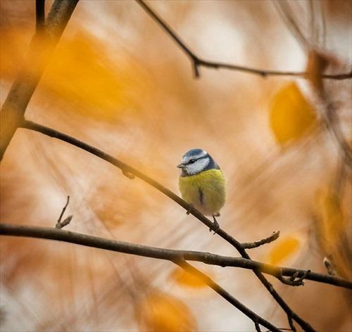 アオガラ 鳥3