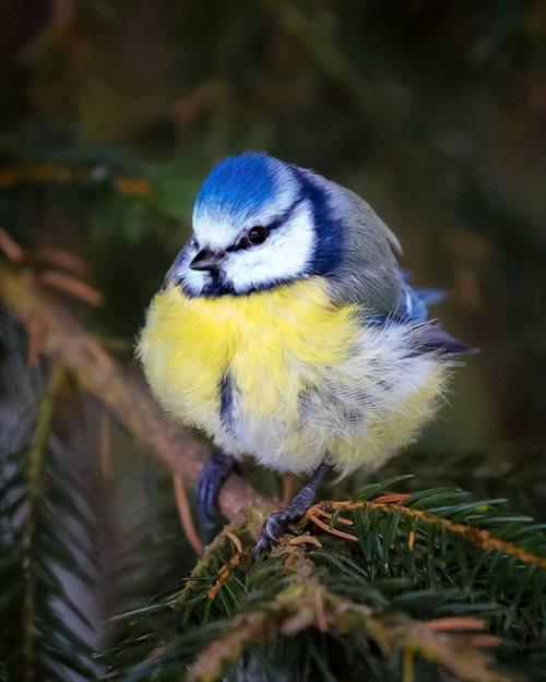 アオガラ 鳥1