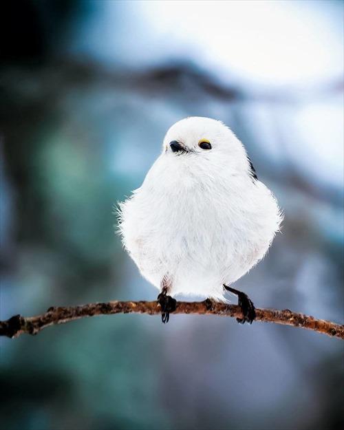 シマエナガ 鳥2