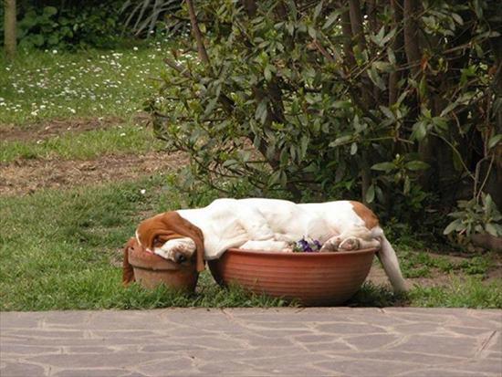 どこでも寝る 犬16