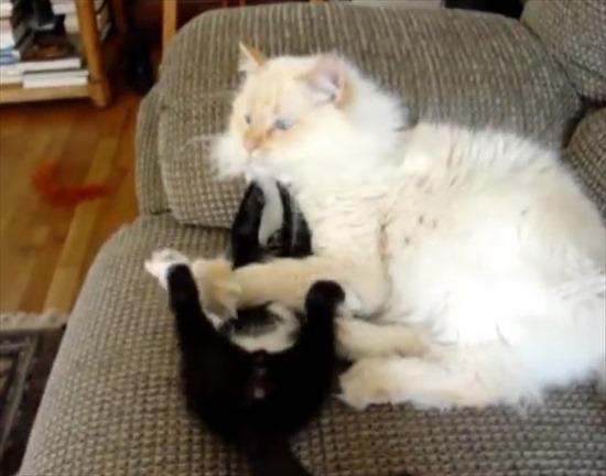 同居猫にちょっかいを出す子猫 4