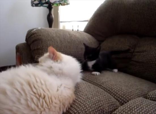 同居猫にちょっかいを出す子猫 5