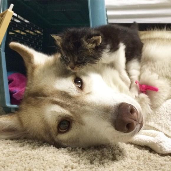 ハスキー犬に育てられた子猫2
