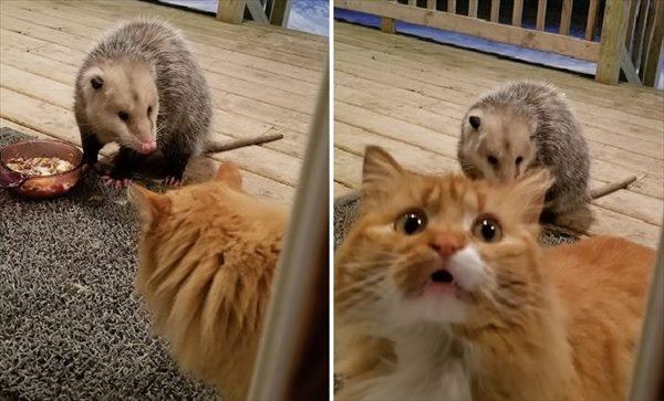 オポッサム 猫 画像1