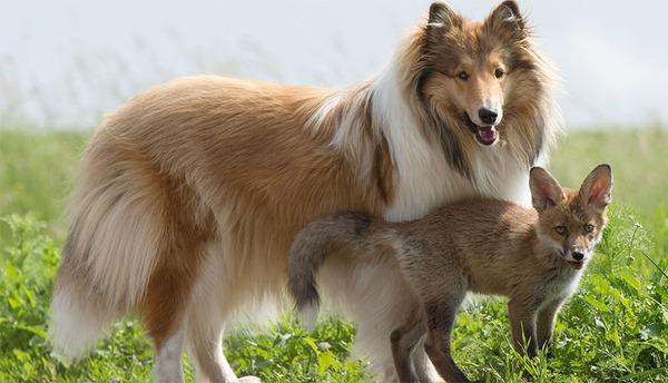 子ギツネとコリー犬の種を超えた家族愛13