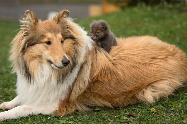 子ギツネとコリー犬の種を超えた家族愛5
