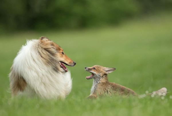子ギツネとコリー犬の種を超えた家族愛9