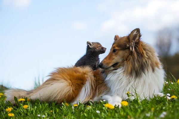 子ギツネとコリー犬の種を超えた家族愛6