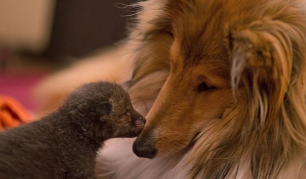 子ギツネとコリー犬の種を超えた家族愛4