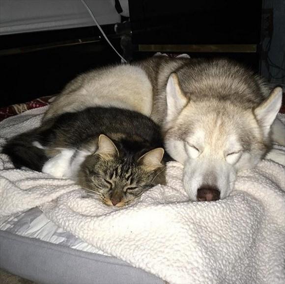 ハスキー犬に育てられた子猫19