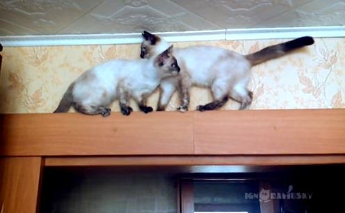 足場の狭いドアの上で器用にすれ違う2匹のシャム猫1