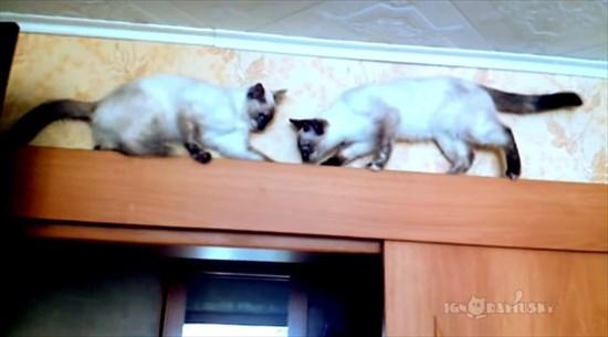 足場の狭いドアの上で器用にすれ違う2匹のシャム猫2