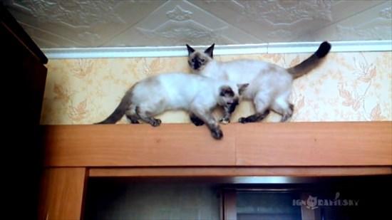 足場の狭いドアの上で器用にすれ違う2匹のシャム猫3