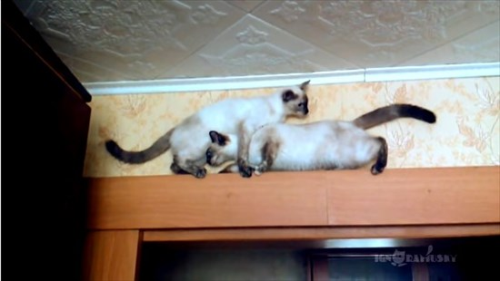 足場の狭いドアの上で器用にすれ違う2匹のシャム猫4