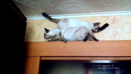 足場の狭いドアの上で器用にすれ違う2匹のシャム猫5