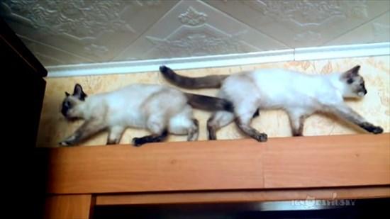 足場の狭いドアの上で器用にすれ違う2匹のシャム猫6