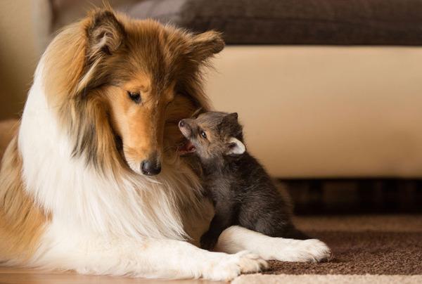 子ギツネとコリー犬の種を超えた家族愛7