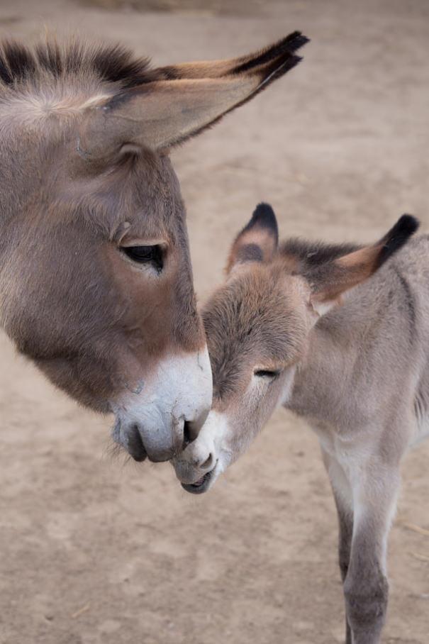 ロバの赤ちゃん 写真13