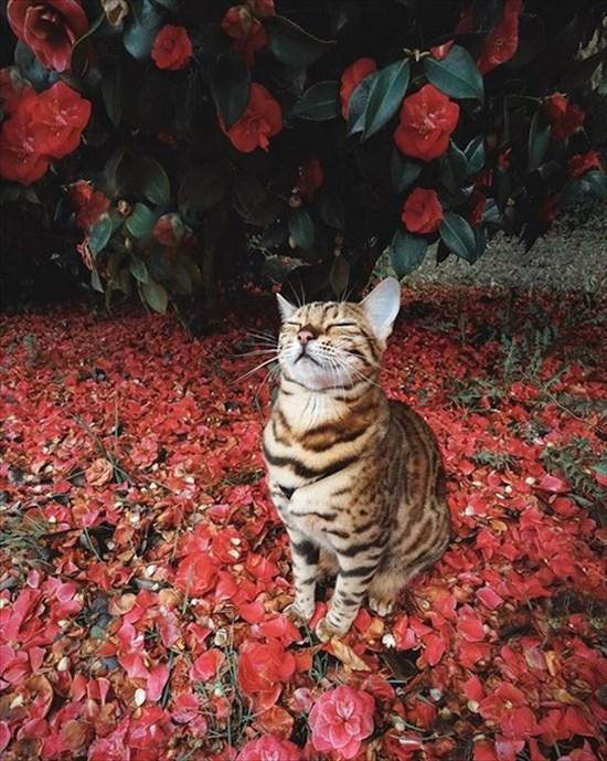 ベンガル猫のSuki写真 インスタで大人気15