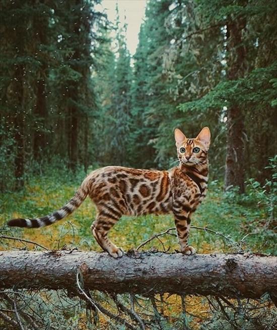 ベンガル猫のSuki写真 インスタで大人気18