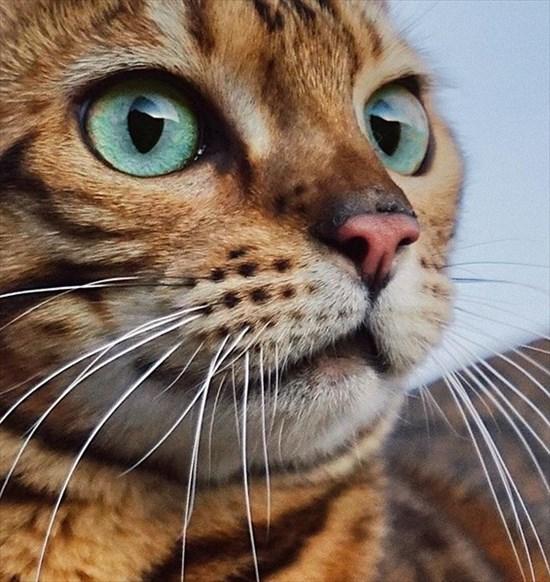 ベンガル猫のSuki 写真