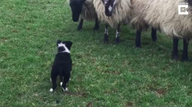 子供のボーダーコリーが上手に羊をまとめている姿がたくましい1