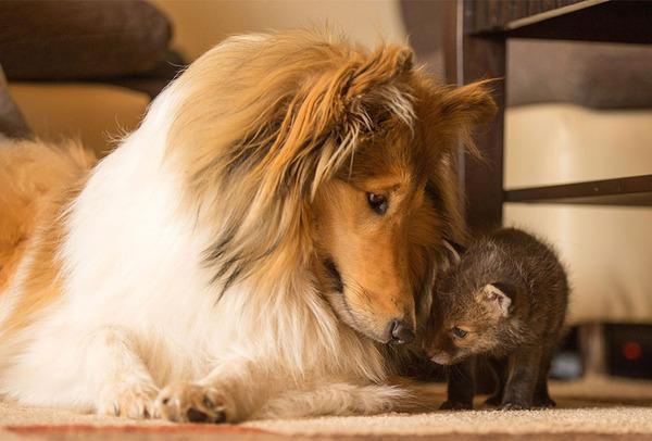 子ギツネとコリー犬の種を超えた家族愛8