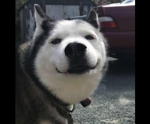 表情豊かなハスキー画像1