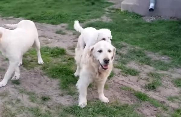 大きい犬の背中に乗る甘えん坊な小さな犬2