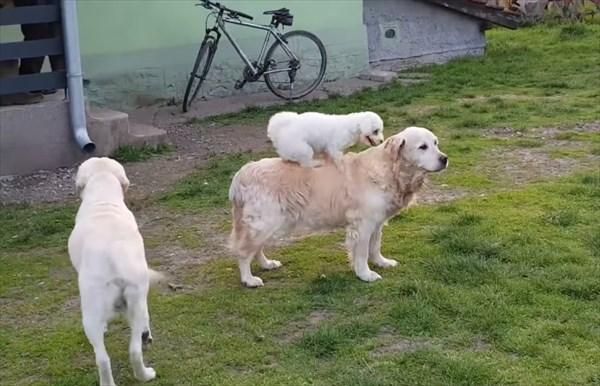 大きい犬の背中に乗る甘えん坊な小さな犬5