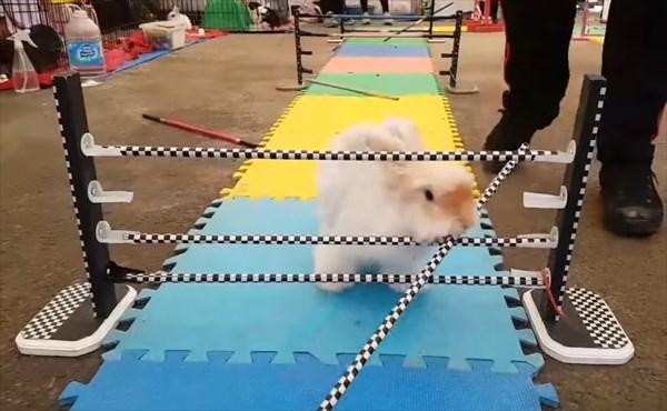障害物レースで大胆な方法で障害物を突破するウサギ7