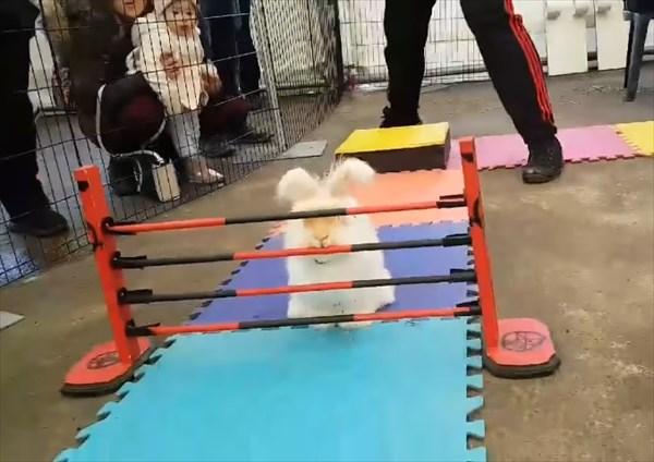 障害物レースで大胆な方法で障害物を突破するウサギ3